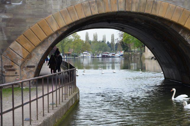 Les cygnes, hôtes du Canal de la Moselle