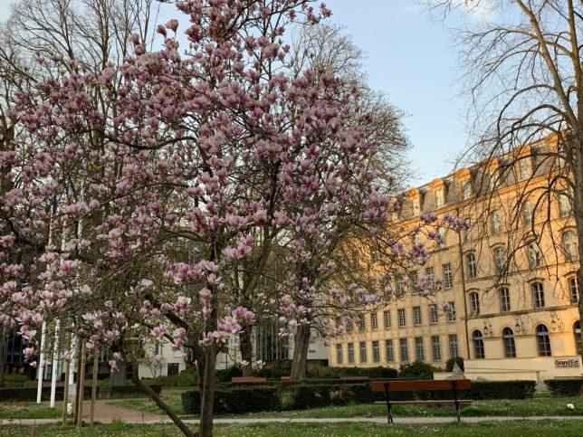 magnolias-pontiffroy-metz-adoptemetz-printemps-2020